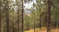 Black Hills forest in a fall wind Stock Footage