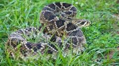 Eastern Diamondback Rattlesnake Venomous Stock Footage