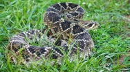 Stock Video Footage of Eastern Diamondback Rattlesnake Venomous