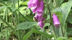 A bee working on a foxglove flower Stock Footage