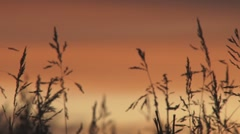 Dreamy Evening Grasses Silhouettes - soft focus pan Stock Footage