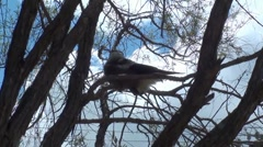 Baby Magpie bird sitting in the tree - stock footage