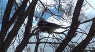 Stock Video Footage of Baby Magpie bird sitting in the tree