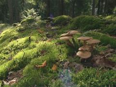 Armillaria mellea - mushroom growing between beautiful moss. Stock Footage