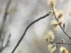 Pussy-willow branch beautiful blooming  illuminated by sunlight. Stock Footage