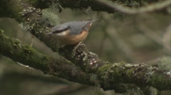 Red-breasted Nuthatch Stock Footage