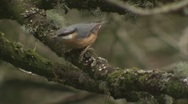 Stock Video Footage of Red-breasted Nuthatch