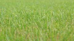 Grass in field, windy Stock Footage