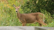 Whitetail doe grazes and looks Stock Footage