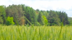 Field of Wheat in front of trees, Wisconsin Stock Footage
