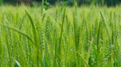 Wisconsin Wheat in breeze Stock Footage