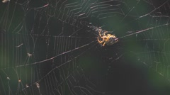 Common garden spider araneus diadematus repairing web. Backlit Stock Footage