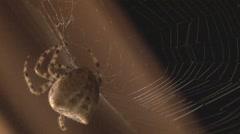 Orb Spider works on web Stock Footage