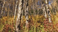 Autumn Birch Forest - dolly right Stock Footage