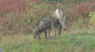 Stock Video Footage of Two Moose Browsing in Autumn