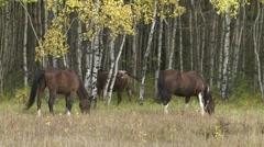 Horses grazing 04 Stock Footage