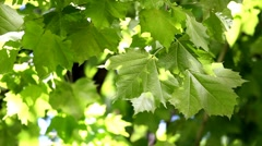 Sycamore Stock Footage