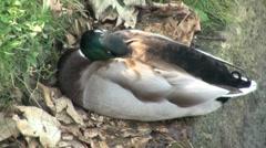 Sleeping Mallard Male Duck Stock Footage