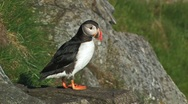Atlantic Puffin Stock Footage