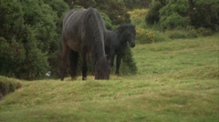 Dartmoor Ponies in the rain Stock Footage