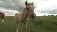 Pony foal steams up camera lens Stock Footage