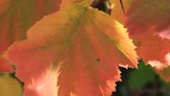Autumn leaves on a wind - stock footage