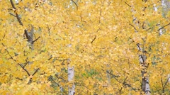 Autumnal leaves Stock Footage