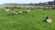 Canadian Geese eating grass 2 Stock Footage