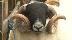 Sheep at widecombe fair Stock Footage