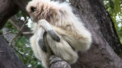 A white handed gibbon sits in a tree Stock Footage