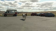 Pony Standing in a Dartmoor  Car park Stock Footage