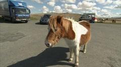 Shetland pony in a carpark on dartmoor Stock Footage