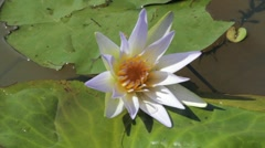 Victoria Amazonica. Flower of the Amazon River. Water Lily. Stock Footage