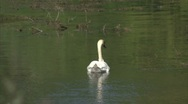 Stock Video Footage of Swan Drifts Away from Camera