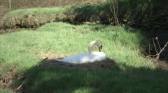 Swan Dozing on a Nest Stock Footage