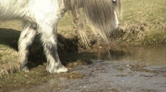 White pony drinks and eats grass Stock Footage