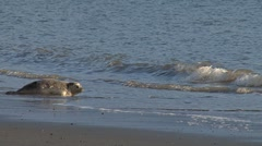 Two Rehabilitated Seals Entering Water - sequence Stock Footage