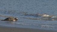 Stock Video Footage of Two Rehabilitated Seals Entering Water - sequence