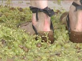 Stock Video Footage of Treading grapes to obtain wine and must. Ancestral practice.2.