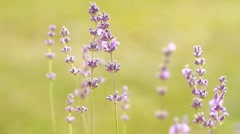 Lavenders in a field Stock Footage