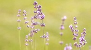Stock Video Footage of lavenders in a field