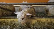 Lamb eating hay Stock Footage