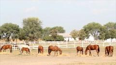Herd of horses eat hay in corral farm scene Stock Footage