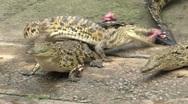 Stock Video Footage of Crocodiles