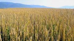 Field of ripe wheat Stock Footage