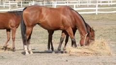 Horses eat hay farm scene Stock Footage