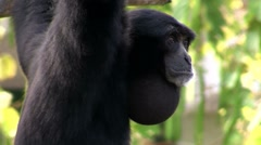 A siamang gibbon from Indonesia hangs in a tree. Stock Footage