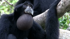 A siamang gibbon from Indonesia hangs in a tree and inflates his chin. Stock Footage