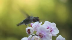 Hummingbird with orchids Stock Footage