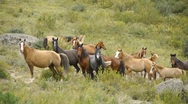 Herd of horses in the mountains Stock Footage